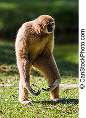 White Cheeked Gibbon or Lar Gibbon