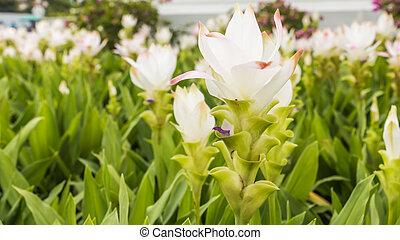 Wild siam tulips