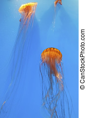 Brown and gold sea nettles in an aquarium tank