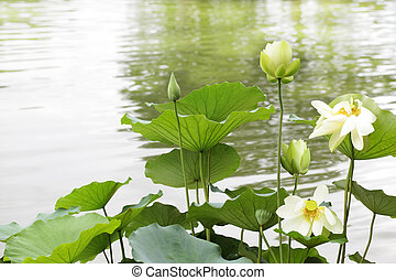 Yellow Lotus in the lake, summer time