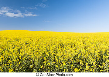 Canola Field - Golden flowering canola field under a blue...