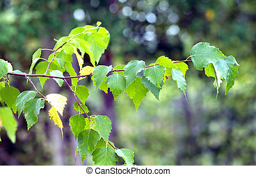 A birch branch with many green leaves in summer season...