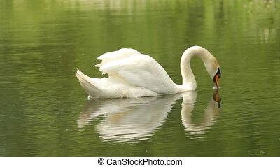 White Swan dives