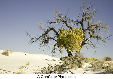 Lone tree in the gypsum sand dunes at White Sands National...