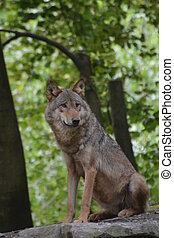 Gray Wolf / Canis Lupus