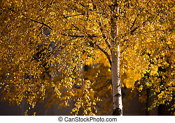 Birch tree in autumn with golden leaves