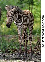 Grants Zebra Foal - Grants zebra foal equus burchelli granti...