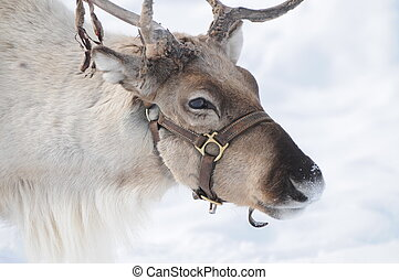 Reindeer - Beautiful reindeer found in the alps during...