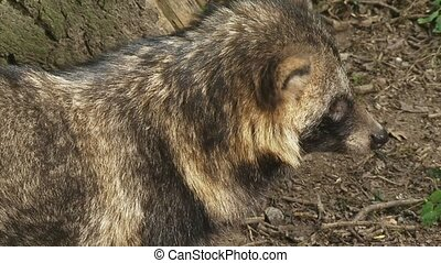 raccoon dog on camera walks away - raccoon dog looks towards...