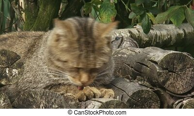 Wildcat on wood stack grooming paw