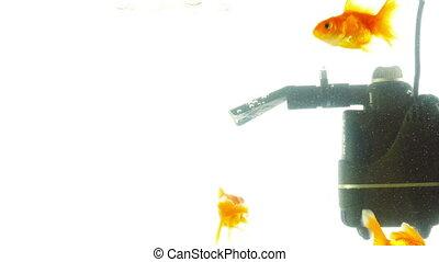 Goldfish in aquarium on a light background