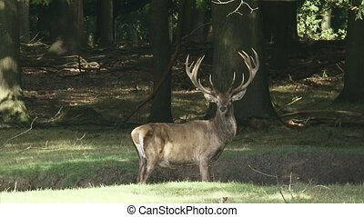 Red deer stag, cervus elaphus - Red deer stag (cervus...
