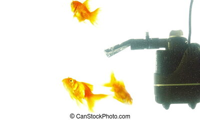 Goldfish in aquarium on a light background