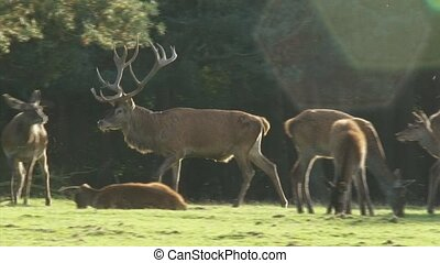Red deer stag with harem - Red deer rut, stag cervus elaphus...
