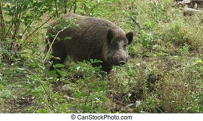 wild boar in natural habitat (sus scrofa)