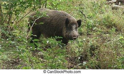wild boar in natural habitat (sus scrofa)