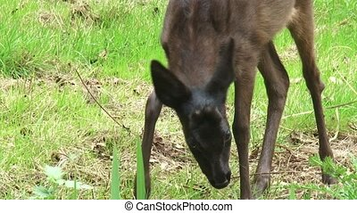 Tracking shot Black Roe Deer buck forages in field + looks...