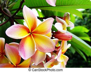plumeria, (frangipani), fleur, close, ,