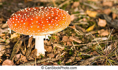 Fly amanita or Fly agaric - fly Amanita growing in the...