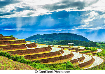 Paddy - rice fields at pa pong peang chiang mai asia...