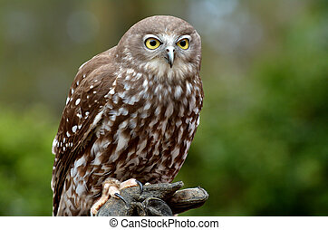 Australian Barking Owl sit on a tree in Gold Coast...