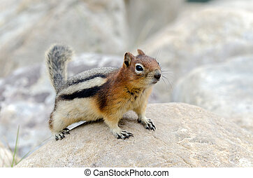 Squirrel Chipmunk in Lake Louise in Banff Park