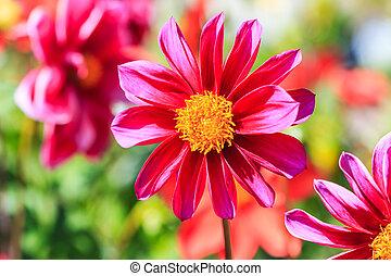 Dahlia, flor, para, fundo,
