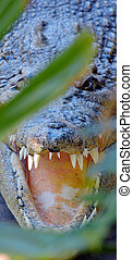 Jaws of Australian salt water crocodile - GOLD COAST, AUS -...