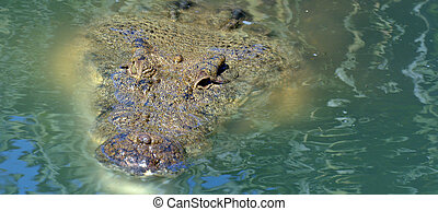 Head of Australian salt water crocodile - GOLD COAST, AUS -...
