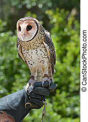 Australian masked owl sit on a glove of a in Gold Coast...