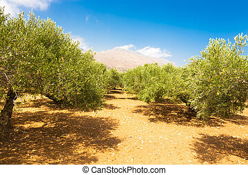 Olive grove on a hot summer day on Crete island, Greece.