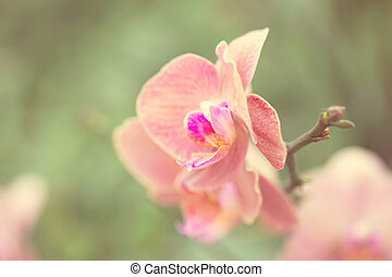 Beautiful purple orchid - phalaenopsis. Phalaenopsis known...