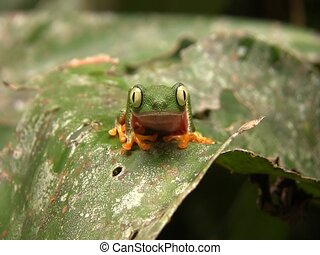 Leaf Frog (Hylomantis hulli) - Zoom to frog. In the...