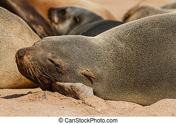 Cape fur seal resting on a stone - Cape fur seal resting in...