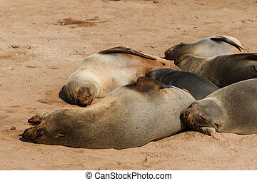 Cape fur seal group resting - Group of adorable cape fur...