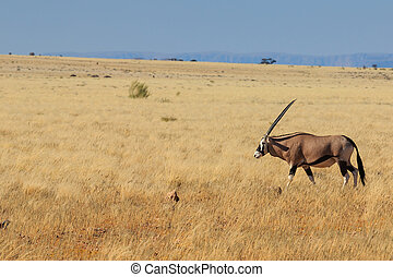 Gemsbok or gemsbuck oryx walking in Namib Desert - Majestic...