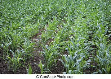 Corn field 5 - Corn field in Asturias Spain Agriculture