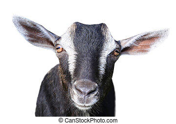 brown goat - portrait gray goat on a white background
