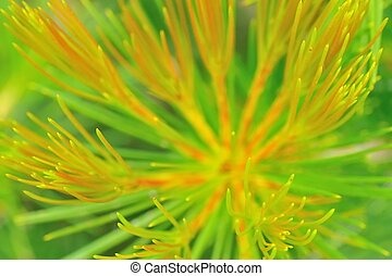 Sharpshooter - Growing tip of Calothamnus with ring of...