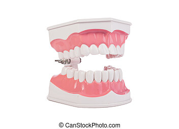 Healthy white human teeth anatomical model. Dentistry.