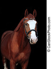 Chestnut stallion portrait on black background - Chestnut...
