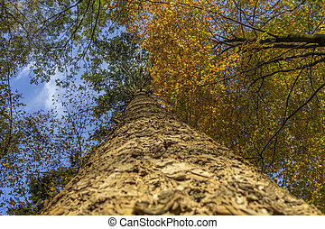 conifer trunk on an autumn afternoon - vertical upward view...