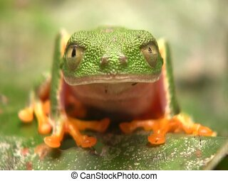 Leaf Frog (Hylomantis hulli) - Blink eyes and moves head. In...
