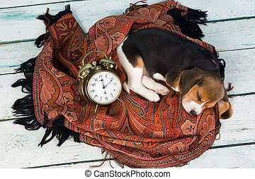 Puppy sleeping with alarm clock - Tired little seven weeks...