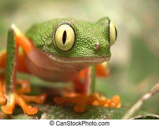 Leaf Frog (Hylomantis hulli) - Walks slowly over leaf. In...