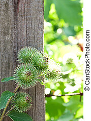 The image of burdock growing near the old fence