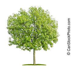 odizolowany, jesion, drzewo, Na, à, biały, tło,