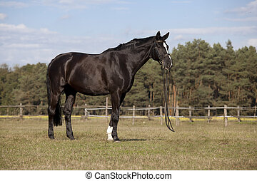 Black horse on meadow - A beautiful black riding horse with...