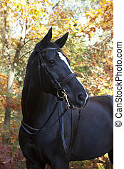 black brandenburger - A beautiful black riding horse with a...