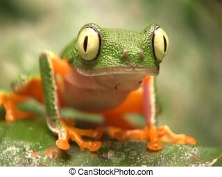 Leaf Frog (Hylomantis hulli) - Blinks eyes. In the...